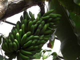 たわわ青バナナ