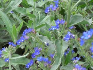 名前を知らないハーブの青い花