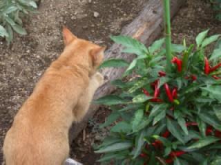 唐辛子と猫