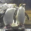 イワトビペンギンズ