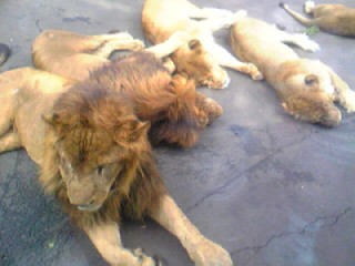 ダベるライオン達