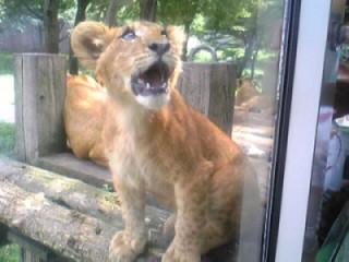 見上げ仔ライオン