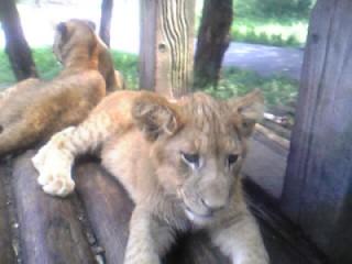 俯き仔ライオン