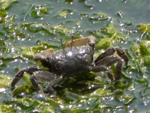 蟹(トリミング)